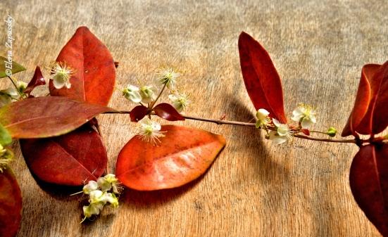 Питанго в цвету
